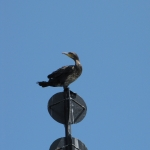 oiseaux-quiberon-morbihan-bretagne-cormorans-huppes-8