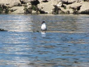 trips-courses-sea-kayak-brittany-morbihan-quiberon-carnac-trinite-birds