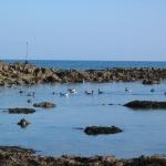 bernaches-oiseaux-quiberon-morbihan-bretagne