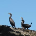 cormorans-quiberon