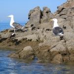 oiseaux-quiberon-morbihan-bretagne-goelands-marins