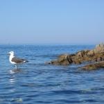 oiseaux-quiberon-morbihan-bretagne-goeland-les-pieds-dans-l'eau