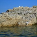 Becasseaux-sanderling-kayak-bretagne-morbihan-quiberon-sillages