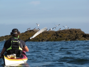 Oyster-Catchers-sillages-sea-kayak-brittany-morbihan-quiberon-carnac-trinité