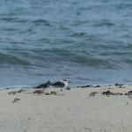 sillages-kayak-sup-quiberon-oiseaux-quiberon-morbihan-bretagne