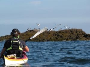 Balades-Kayak-famille-quiberon-morbihan-bretagne-canoe-nature-huitrier-pies
