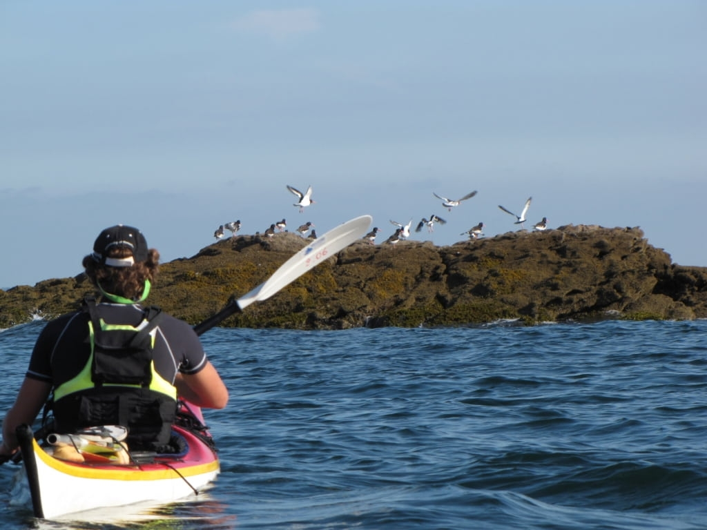 First experience birds Sea Kayak-Paddleboarding-quiberon-morbihan-brittany-courses-trips-sillages